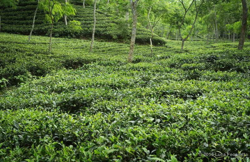 Sreemangal Tea plantations s